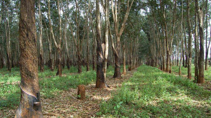 Développement de l'hévéaculture : Inauguration de 57 kms de pistes à Sikensi dans 48 heures par le PM