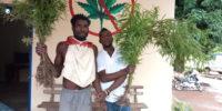 Facobly: 1 ha de cannabis détruit, 2 individus arrêtés à Soakpé